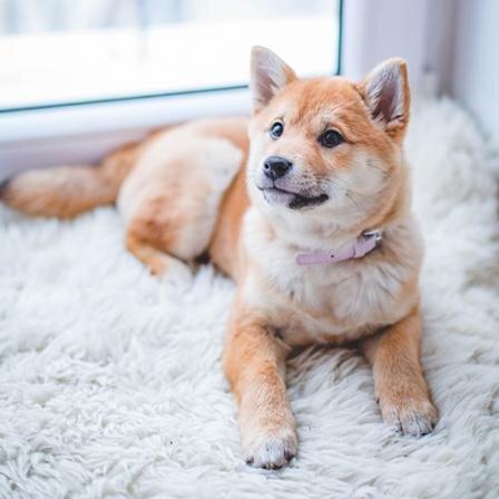 Atlanto-aksialinis nestabilumas. Kokie šunys linkę sirgti šia liga?