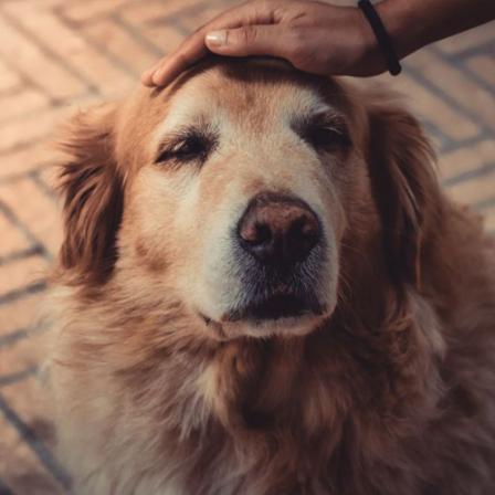 Veterinarės patarimai, kaip prižiūrėti senjorą gyvūną: apie kailį, mitybą ir žmogiškas ligas