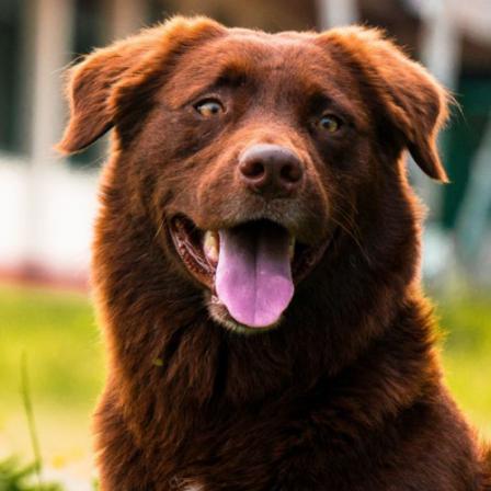 Genetinės šunų ligos: dėl ko kyla ir kokioms veislėms kokie simptomai būdingi