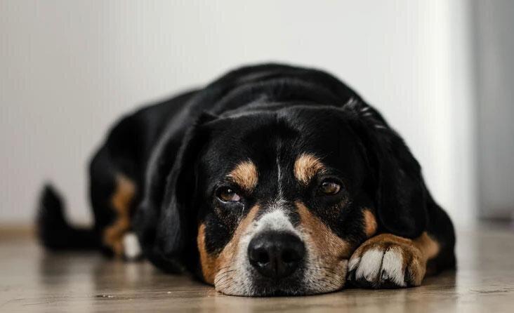 Alzheimerio simptomus jaučia ir šunys: veterinarės patarimai, kaip atpažinti ligą ir ją atitolinti