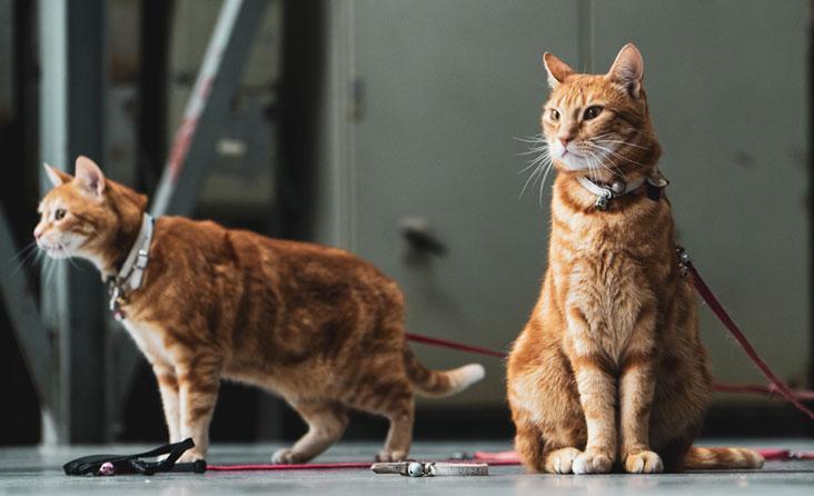 Kačių vedžiojimas lauke: kokie egzistuoja mitai ir ar jie pagrįsti?